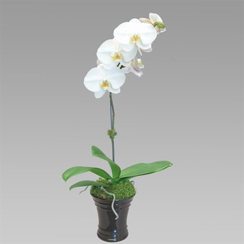 delux- whiteorchid-gift.jpg